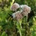 Tawny Cotton-sedge