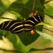 Zebrawing Butterfly!