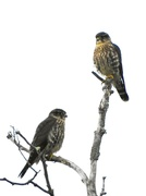6th Aug 2020 - Merlins