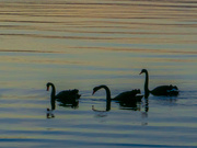 8th Aug 2020 - Swans at sunset