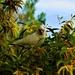 Little Corella In The Wattle Tree ~