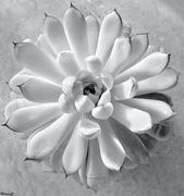 8th Aug 2020 - Succulent plant