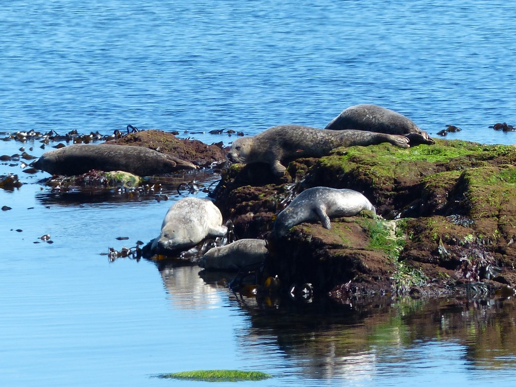 seals enjoying the sunshine on  the Firth of Forth by dorrie2013
