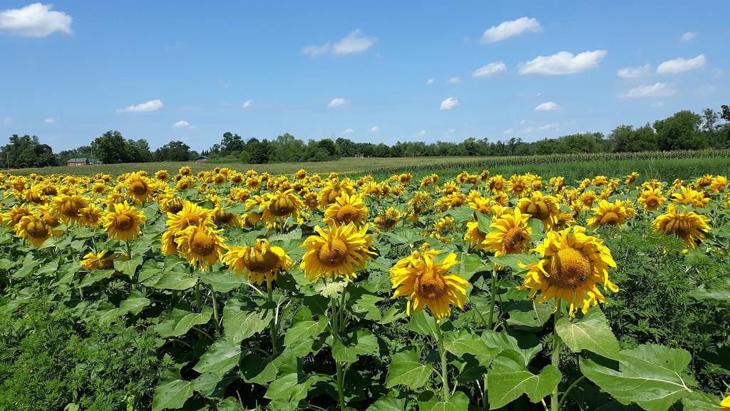 Sunflower Field by julie