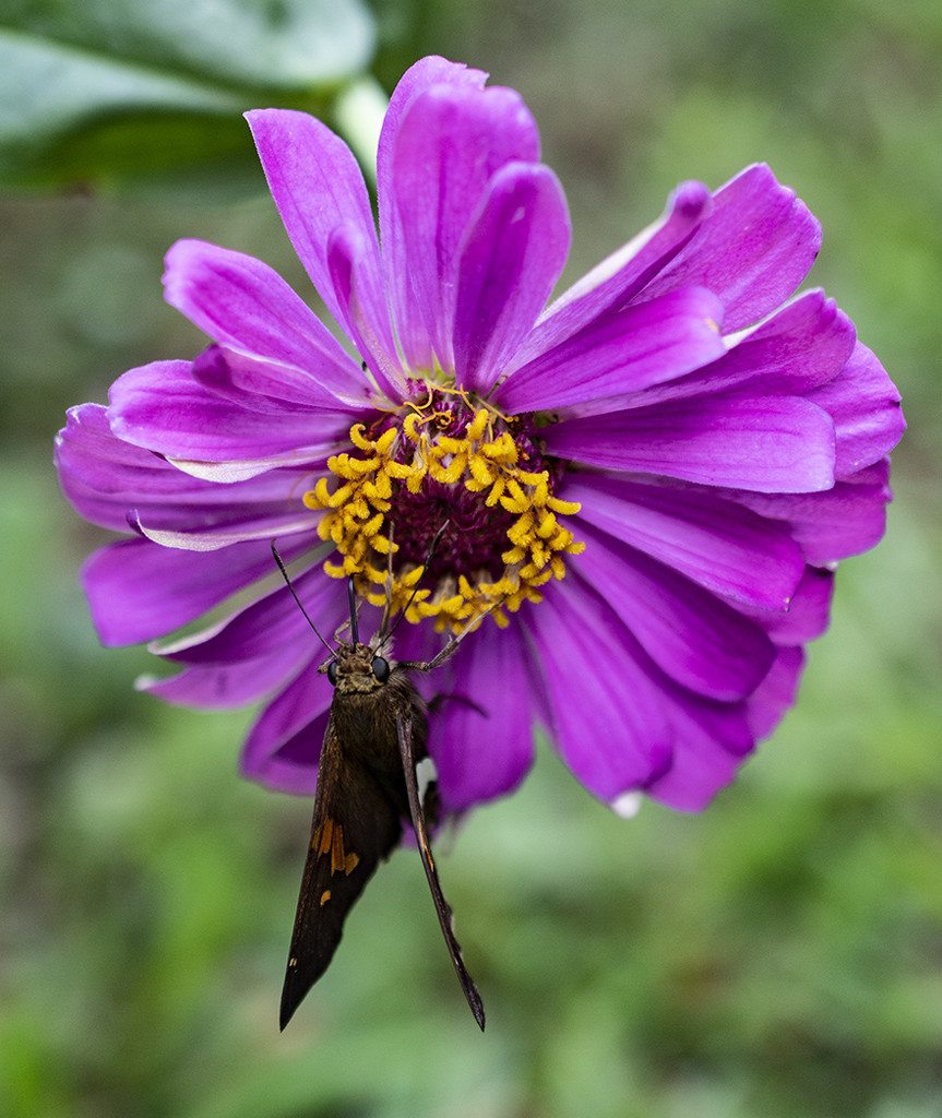 Moth on Zinnia by k9photo