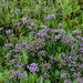 Flowers of the schorren. Statice (Limonium sinuatum),