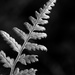 Fern Study in Black and White