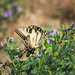 swallowtail by aecasey