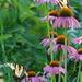 Tiger Swallowtails on Purple Coneflower by annepann