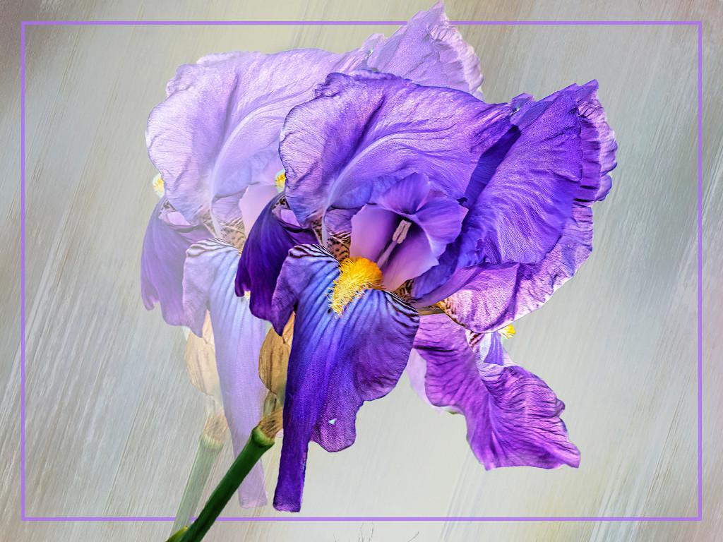 The lone Iris by ludwigsdiana