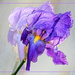 The lone Iris