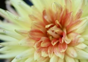 9th Aug 2020 - Dahlia Fire