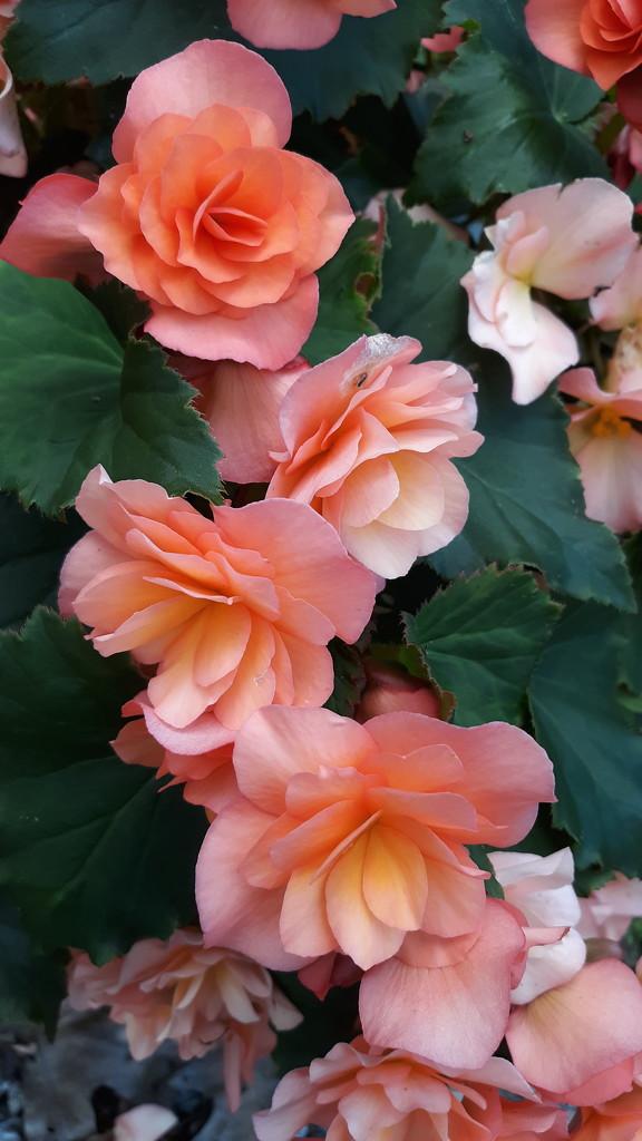 Begonias by julie