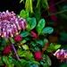 Lavender Bells – Succulent ~