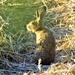 Hare I am
