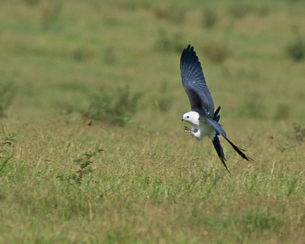 LHG-0476- Swallowtail Kite about to catch June Bug by rontu