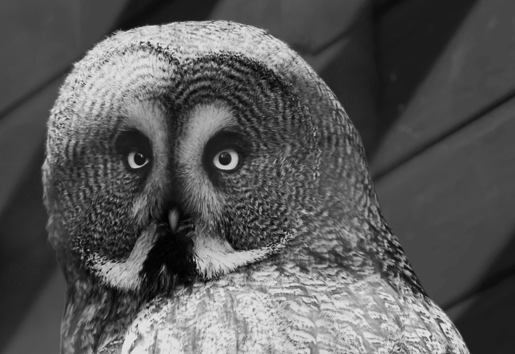 Mave Yaxley Great Grey Owl-17 by mave