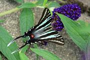 3rd Jul 2020 - Zebra Swallowtail