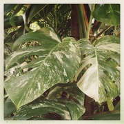 8th Aug 2020 - Variegated Monstera