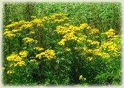 10th Aug 2020 - Tansy, also known as common tansy, bitter buttons, cow bitter, or golden buttons