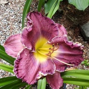 9th Aug 2020 - Daylily 'Lake Effect'