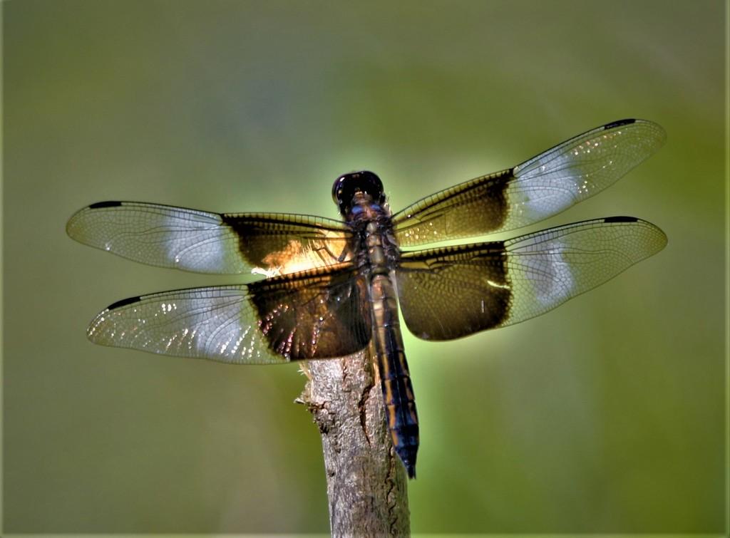 Wings by lynnz