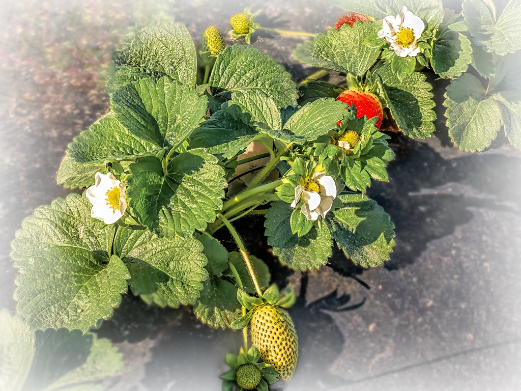 Strawberries growing slowly by ludwigsdiana