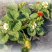 Strawberries growing slowly