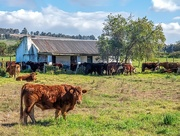 10th Aug 2020 - New home for cows