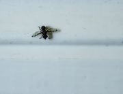 10th Aug 2020 - the tiniest fly