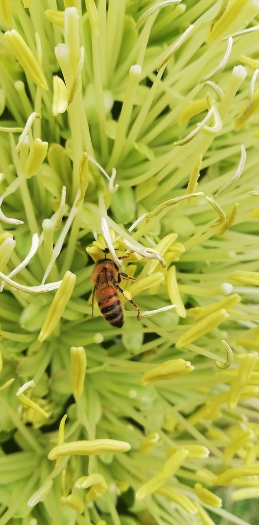 Working bee collecting pollen by julianneovie
