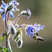 Bee In The Borage.