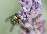 10th Aug 2020 - A Fluky Fly On A Flower DSC_2817