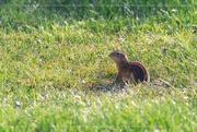 9th Aug 2020 - Ground Squirrel Stare
