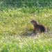 Ground Squirrel Stare
