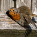 Roasted Robin