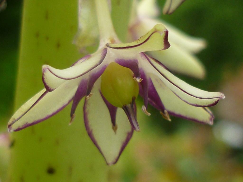 Eucomis Flower  by countrylassie