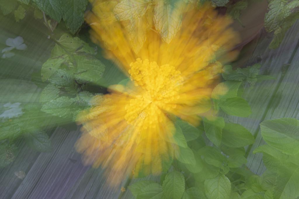 Lantana Zoom Burst by timerskine
