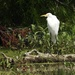 Egret on a log