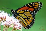 9th Aug 2020 - Monarch on Joe-Pye
