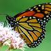 Monarch on Joe-Pye by skipt07
