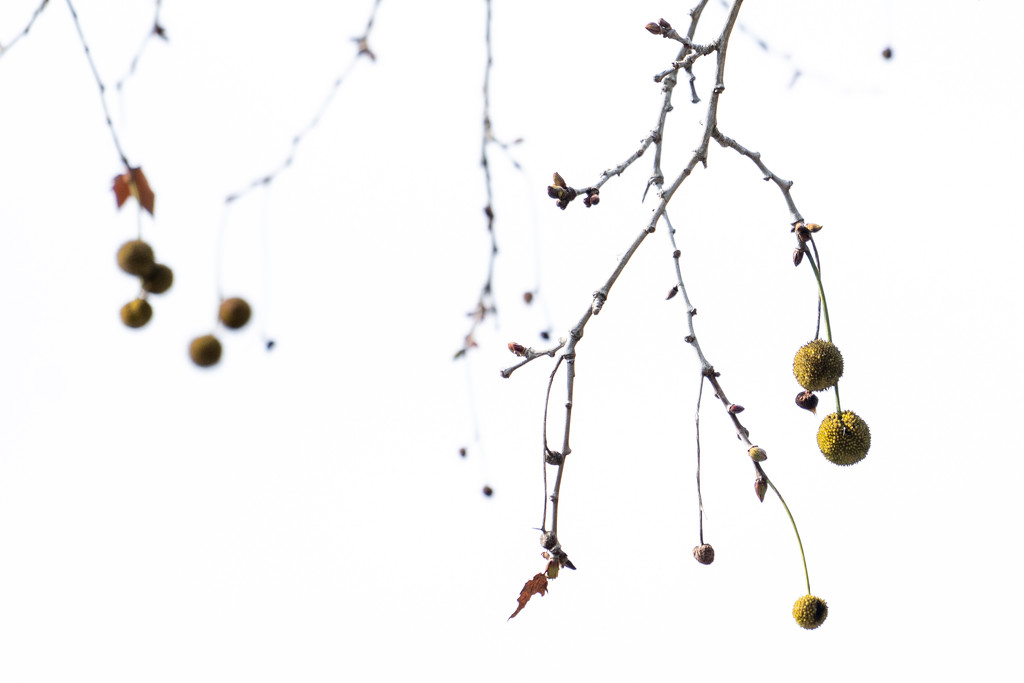 Seed pods by sugarmuser