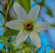 11th Aug 2020 - Clematis paniculata