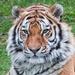 Tiger Tiger burning bright ....