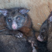 Possums in the chooks coop
