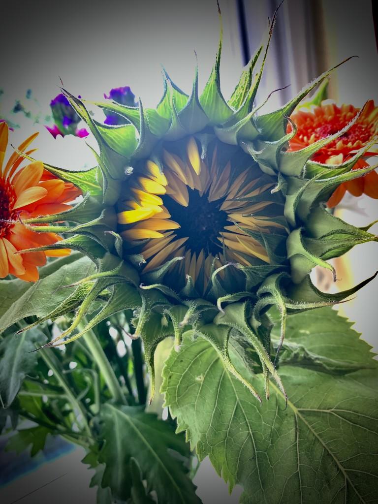Baby sunflower by tracybeautychick