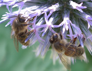 11th Aug 2020 - Honey Bees