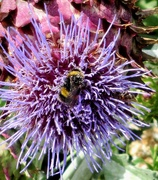 11th Aug 2020 - Busy Bee