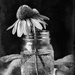 cone flowers bw