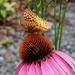 Popular Echinacea by sunnygreenwood